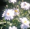 Argyranthemum-Madeira-Crested_Double_white.jpg