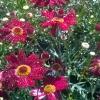 Argyranthemum-Madeira-Red.jpg
