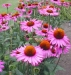 Echinacea-purpurea-___Ruby-Giant___.jpg