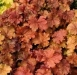 Heuchera___Fire_Chief__.jpg